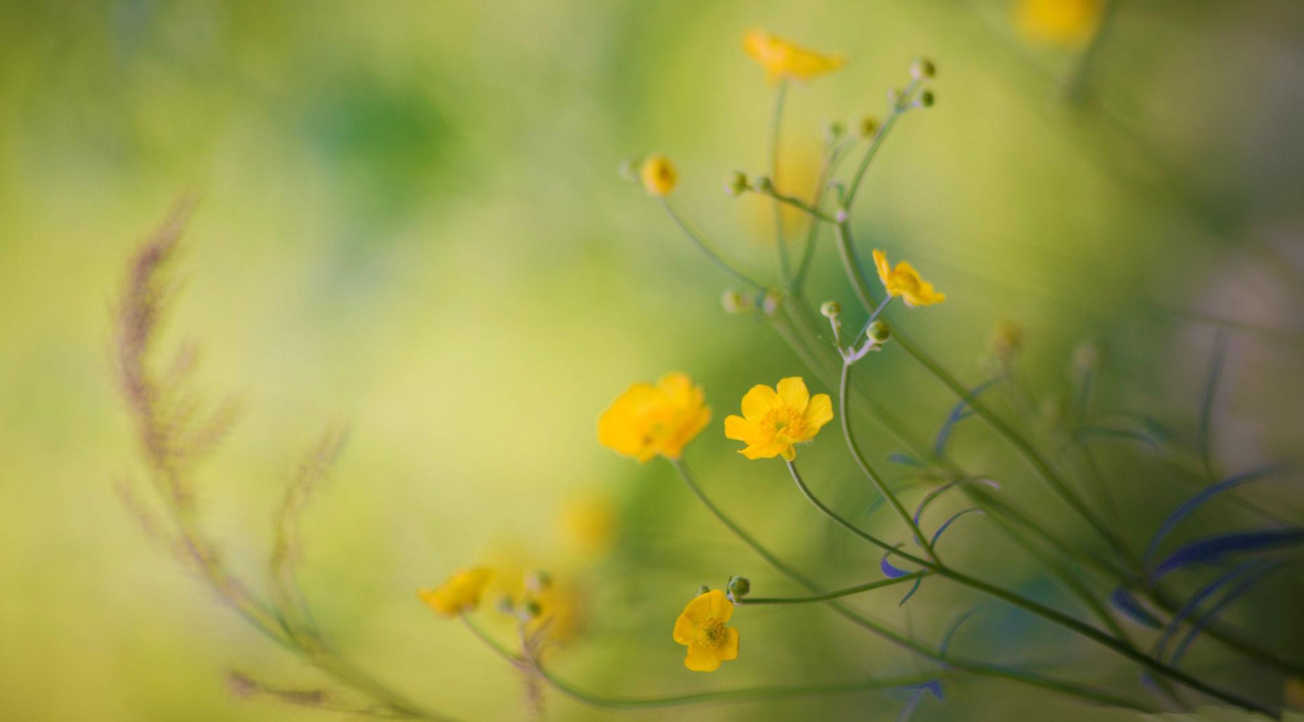 buttercups1